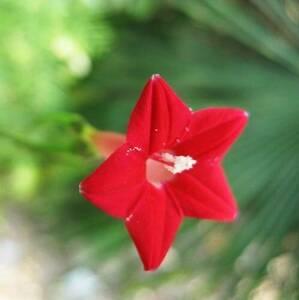 ★ 赤 サイプレスつる 種子 ( 2 種子 1 セット ) RED CYPRESS VINE ★
