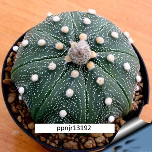 ★アストロフィツム 盆栽 サボテン種子 (4 種子1セット) 多肉植物の種子 ASTROPHYTUM SUCCULENT★