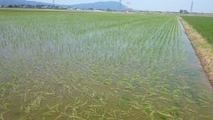 【令和3年産】新米 新潟県認証 無農薬 特別栽培米コシヒカリ 白米紙袋25kg