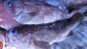 (魚)エゾメバル22cm1匹248円即決