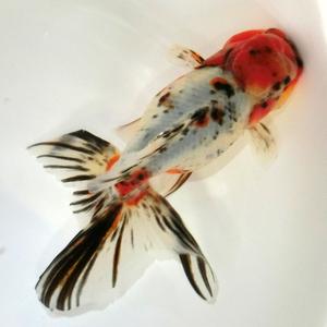 超極上【蒼い錦魚】飯田系東錦親魚01雌 15cm±