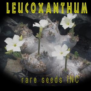 ■新入荷! パキポディウム 白花 恵比寿笑い 種子5粒 Pachypodium brevicaule ssp. Leucoxanthum  θ **ц**