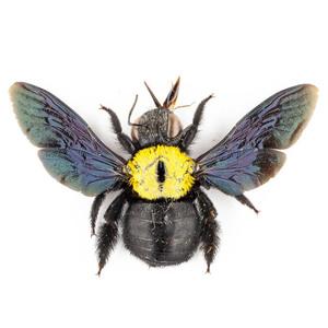 X. aestuans 11 黄色のクマバチ標本 ジャワ島