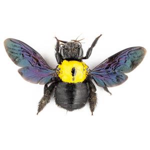 X. aestuans 13 黄色のクマバチ標本 ジャワ島