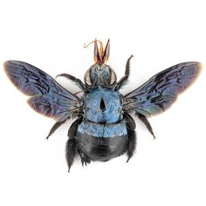 X. caerulea 106 青いクマバチ標本 スマトラ島