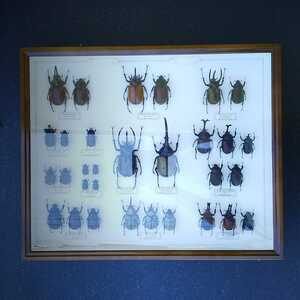 値段交渉OK 昆虫標本 カブトムシ 31頭 ドイツ箱