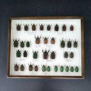 値段交渉OK 昆虫標本 カナブン No2 35頭 ドイツ箱