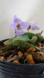 山野草 すみれ科 ミヤマスミレ 栃木県産 青紫色の花が魅力的     花は終わりました。