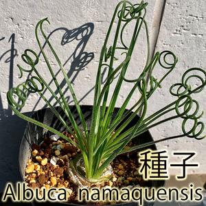 【種子】アルブカ・ナマクエンシス(20粒+α) Albuca namaquensis 球根 bulb サボテン 多肉植物 (SZ001-02)