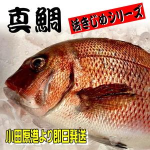 真鯛 活き締め 約2kg刺身用 生食用 【 小田原港 より 即日発送 うまいもの市場 活〆シリーズ 】 鮮度重視、旨味が違います 【冷蔵便】②