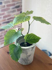 観葉植物 フィカス ウンベラータ セメント鉢カバー付き3