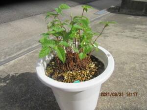 カナシデ(クマシデ)の実生苗 樹齢3年 1本抜き苗渡し