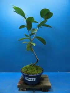 夢道園の椿盆栽(ツバキ)実生苗素材■苔盆栽■山野草■-TB-55