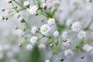 ★カスミソウの種子 (5 種子) GYPSOPHILA★