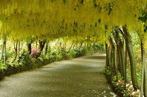 ★ゴールデンシャワーツリー (1 種子 1 セット) GOLDEN SHOWER TREE★