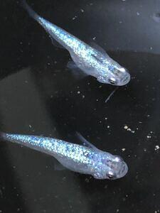 【種水1点付き】東北越冬めだか有精卵100個+αになります。『グリーンウォーター、ミジンコ、ゾウリムシ種水』