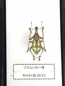 【展足済】モロタイ島 ゾウムシ 【標本】