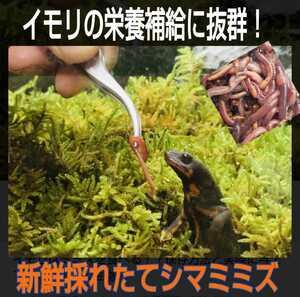 イモリの大好物!よく食べます!栄養満点!新鮮!採れたて直送!シマミミズ100匹セット☆爬虫類の餌、亀の餌、観賞魚の餌、釣りの餌にも!