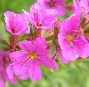 ●山野草 湿地植物 ミソハギ 宿根2歳●5本
