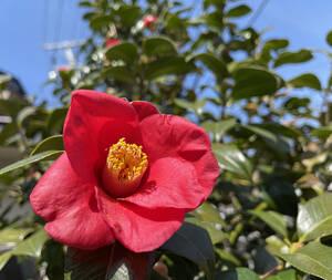 椿 抜き苗/根付き 挿し穂 5本 ■送料無料(ツバキ つばき 真っ赤)植木 庭木 赤 椿園で購入
