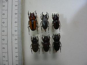 9 小型クワガタムシ類6頭 マレーシア・Cameronhighland産 標本 昆虫 甲虫