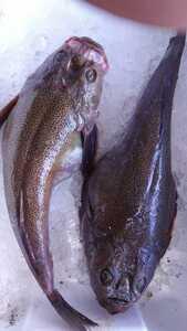 (魚)ミシマオコゼ55~60cm1匹980円即決