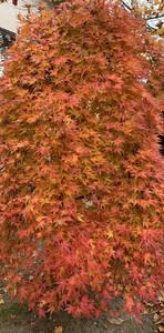 紅葉 夏緑 すだれもみじ 挿し穂 5本 ■送料無料(流泉 枝垂れ しだれもみじ かえで 挿し木)庭木 モミジ もみじ 植木