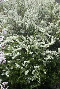 雪柳 「ユキヤナギ」 コメ桜 10本 白い花 送料無料(米桜 挿し木 コメザクラ 挿し穂 桜 アイス色 庭木)送料込み