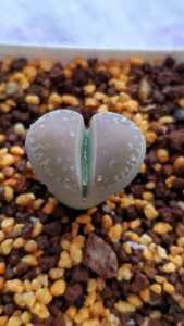 リトープス マルモラータ 'ジウチナ' C260 種子15粒