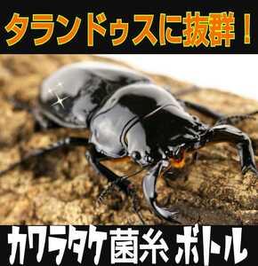 カワラタケ菌糸ボトル 850ml☆クヌギ100%原料使用・二次発菌 タランドゥスやオウゴンオニクワガタ、レギウスの大型化が狙えます!