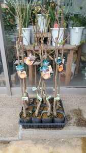 果樹苗木!お庭にどうぞ。柿(品種は大雅。大豊。麗玉の3品種)お好きな品種をお選びください。それぞれ4苗木あります。