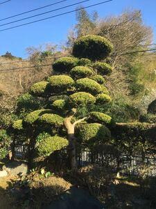 まき 庭木 植木