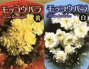 木香薔薇 モッコウバラ苗木2本