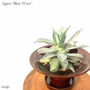 アガベ 'ブルーウェーブ' (agave 'Blue Wave' コロラータ × セルシーノバ)