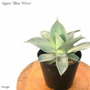 アガベ 'ブルーウェーブ' 5寸 (agave 'Blue Wave' コロラータ × セルシーノバ)