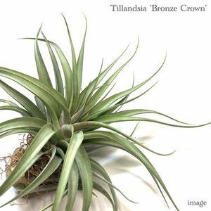 チランジア 'ブロンズクラウン' (エアープランツ ティランジア 'bronze crown' カピタータ × コンコロール? ファシクラータ?)
