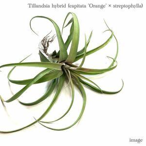 チランジア 交配種(カピタータ 'オレンジ' × ストレプトフィラ) (ティランジア エアープランツ capitata 'orange' × streptophylla)