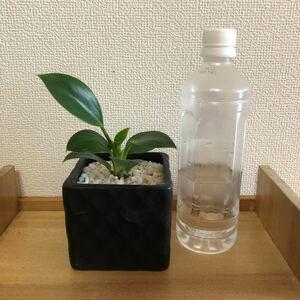 フィロデンドロン グリーンプリンセス 陶器鉢ごと発送(2)