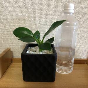フィロデンドロン グリーンプリンセス 陶器鉢ごと発送(3)