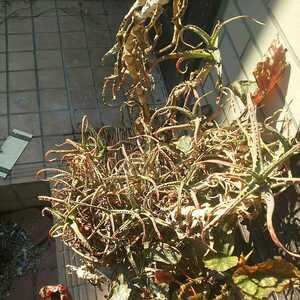 キダチアロエ 挿し木用 茎1本 切り枝