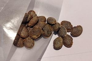 2021/04月入荷 Adenia firingalavensis アデニア・フィリンガラベンシス 種子5粒 M7