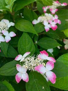 4 紅 2苗入り クレナイ 赤 山アジサイ 盆栽 苔玉 寄せ植え あじさい