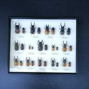 値段交渉OK 昆虫標本 クワガタ No3 28頭 ドイツ箱