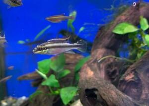 (熱帯魚)ペルヴィカクロミス・プルケール 1匹 ※カラー/雌雄の指定不可 ペルマト