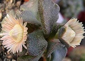 【種子】アロイノプシス ロスラータ(菱鮫) ALOINOPSIS rosulata 種子10粒【送料無料】