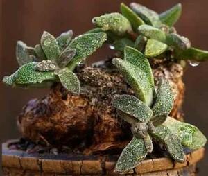 【種子】アロイノプシス 花錦 Aloinopsis rubrolineata 種子10粒【送料無料】