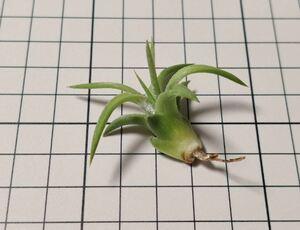 Tillandsia ionantha var. vanhyningii ex. Koehres チランジア イオナンタ バンハイニンギー 自家産子株 2020年3月入荷