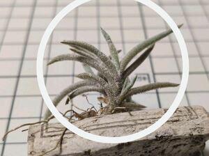 Tillandsia capillaris Tarija ex. E** チランジア カピラリス タリハ 子株 2018年購入