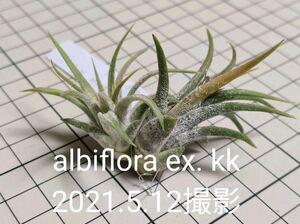 Tillandsia ionantha var. albiflora ex. Koehres 自家産子株 2020年3月入荷 チランジア イオナンタ アルビフローラ クランプ