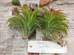 Tillandsia ionantha grosse form ex. KK チランジア イオナンタ グロッセフォーム ティランジア エアープランツ エアプランツ ブロメリア